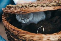 Pequeño gatito gris en una cesta fotografía de archivo libre de regalías