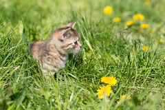 Pequeño gatito gris que juega en hierba y dientes de león outdoor Imágenes de archivo libres de regalías