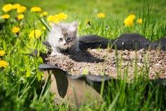 Pequeño gatito gris que juega en hierba y dientes de león outdoor Fotos de archivo libres de regalías