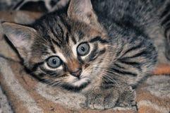 Pequeño gatito gris que miente en la manta, mirando la cámara, el campo imágenes de archivo libres de regalías