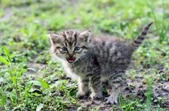 Pequeño gatito gris que silba Foto de archivo