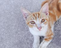 Pequeño gatito joven amarillo de la calle en la mirada del asfalto fotografía de archivo libre de regalías