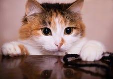 Pequeño gatito juguetón Imágenes de archivo libres de regalías