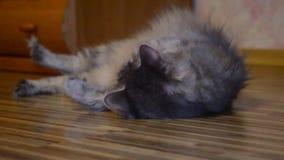 Pequeño gatito juguetón almacen de metraje de vídeo