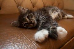 Pequeño gatito lindo que miente en el sofá de cuero imagen de archivo