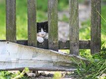 Pequeño gatito, mirando furtivamente ansiosamente de detrás un viejo fenc de madera imagenes de archivo