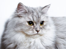 Pequeño gatito mullido Foto de archivo libre de regalías
