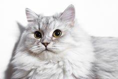 Pequeño gatito mullido Imagen de archivo libre de regalías
