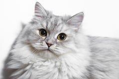 Pequeño gatito mullido Imágenes de archivo libres de regalías