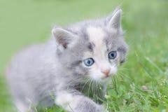 Pequeño gatito mullido ahumado que camina en la hierba Fotografía de archivo
