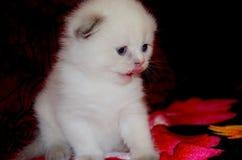 Pequeño gatito mullido blanco que se sienta en un sofá y una lamedura rojos Doblez lindo ofendido británicos de la cara foto de archivo libre de regalías