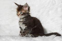Pequeño gatito negro del mapache de Maine del gato atigrado que se sienta en el fondo blanco Fotos de archivo libres de regalías
