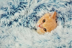 Pequeño gatito que mira a escondidas hacia fuera de debajo la manta Fotos de archivo