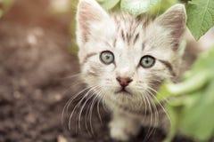 Pequeño gatito que mira a escondidas hacia fuera de las hojas de la patata Imagenes de archivo