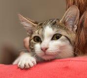 Pequeño gatito rayado con un blanco Imagen de archivo libre de regalías
