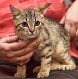 Pequeño gatito rayado con un blanco Imagen de archivo