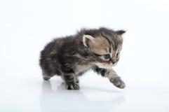 Pequeño gatito recto escocés que camina hacia Imagen de archivo