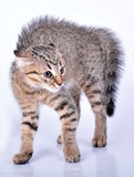 Pequeño gatito recto escocés que parece asustado Imagenes de archivo