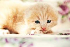 Pequeño gatito rojo foto de archivo libre de regalías