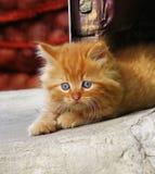 Pequeño gatito rojo que mira a la cara Imagenes de archivo