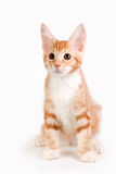 Pequeño gatito rojo que se sienta en el fondo blanco Fotos de archivo libres de regalías