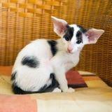 Pequeño gatito siamés blanco y negro Imagenes de archivo