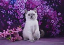 Pequeño gatito siamés en extracto del fondo de Borgoña Imágenes de archivo libres de regalías