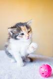 Pequeño gatito tricolor que juega con una bola edad 3 meses Fotos de archivo libres de regalías