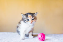 Pequeño gatito tricolor que se sienta al lado del juguete edad 3 meses Fotografía de archivo libre de regalías