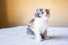 Pequeño gatito tricolor que se sienta en la tabla edad 3 meses Imagen de archivo libre de regalías