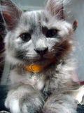 Pequeño gatito Ursulla cariñoso y apacible foto de archivo libre de regalías