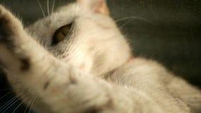 Pequeño gato británico que mira hacia fuera la ventana almacen de video