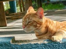 Pequeño gato con la piel roja que se relaja Foto de archivo libre de regalías