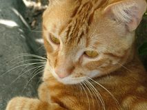 Pequeño gato con la piel roja que se relaja imagen de archivo