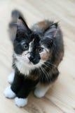 Pequeño gato - Coon de Maine Fotografía de archivo