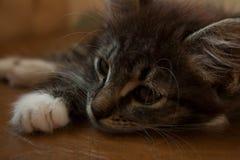 Pequeño gato de gato atigrado con los ojos soñadores foto de archivo