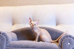 Pequeño gato de Devon Rex del gatito que se sienta en el sofá azul Fotografía de archivo libre de regalías