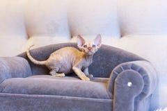 Pequeño gato de Devon Rex del gatito que se sienta en el sofá azul Imágenes de archivo libres de regalías