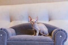 Pequeño gato de Devon Rex del gatito que se sienta en el sofá azul Foto de archivo