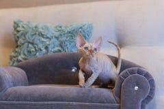 Pequeño gato de Devon Rex del gatito que se sienta en el sofá azul Foto de archivo libre de regalías