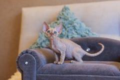 Pequeño gato de Devon Rex del gatito que se sienta en el sofá azul Imagen de archivo