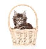 Pequeño gato de mapache de Maine que se sienta en cesta Aislado en blanco Foto de archivo libre de regalías