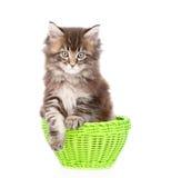 Pequeño gato de mapache de Maine que se sienta en cesta verde Aislado en blanco Fotografía de archivo libre de regalías