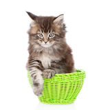 Pequeño gato de mapache de Maine que se sienta en cesta verde Aislado en blanco Fotos de archivo libres de regalías