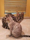Pequeño gato del gato grande foto de archivo libre de regalías