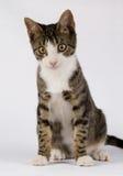 Pequeño gato derecho Imagen de archivo