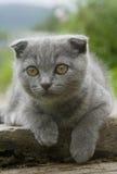 Pequeño gato gris Fotografía de archivo libre de regalías