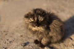 Pequeño gato gris desorejado Imagen de archivo
