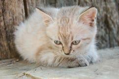 Pequeño gato gris, jugando en la yarda, en el fondo de madera, Foto de archivo libre de regalías