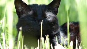 Pequeño gato negro lindo que ronronea en la hierba verde afuera almacen de metraje de vídeo
